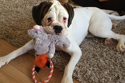 Rescuing and rehoming boxers